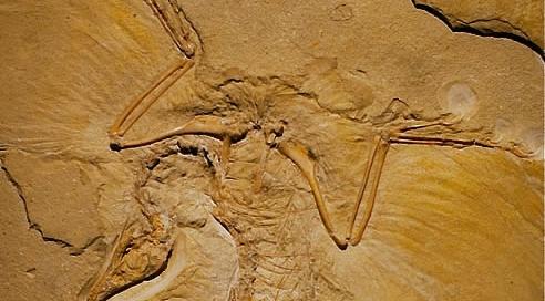 Archeopteryx Panel