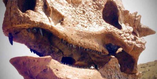 Butt Head the Pachycepahlosaurus